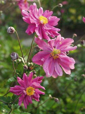 Anemone Japonica Hybride Bressingham Glow Japan Herbst Anemone